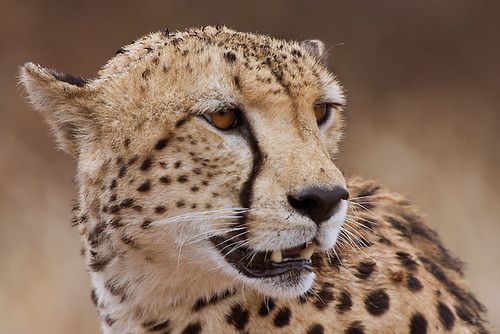Portrait of a male cheetah