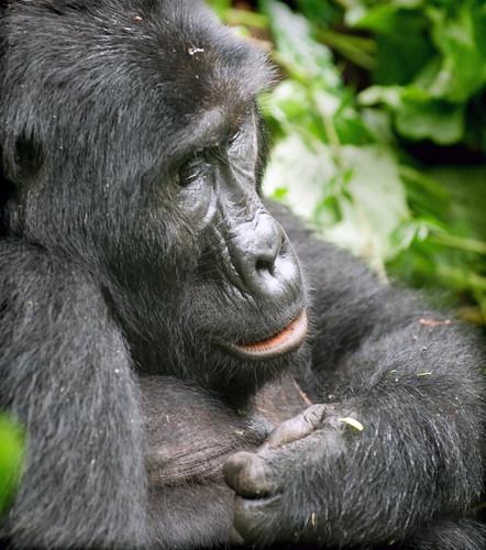 mountain gorilla explore endangered uganda bwindi vosplusbellesphotos mauekay