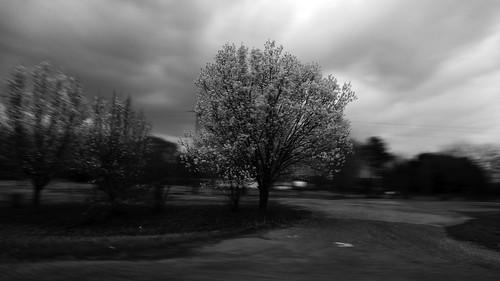 leica bw tree blancoynegro texas pan dogwood panning easttexas incamera p2wy dlux4 notinfraredactuallyawhiteblossomedtree