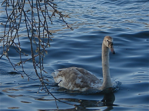 Juvenile swan on Spree River, Treptower Park, Berlin