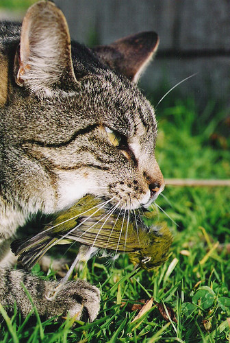 Cat with Japanese White-eye
