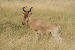 animal, prairie, antelope, mammal, horn, hartebeest, common eland, grazing, fauna, impala, pasture, savanna, grassland, safari, wildlife,