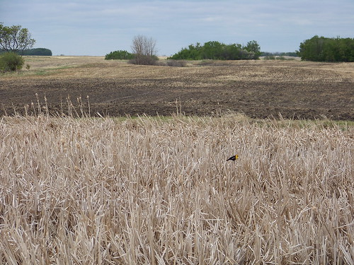 blue canada color colour bird animal pond farm marsh sk prairie saskatchewan agriculture 2009 2000s rosthern canadagood