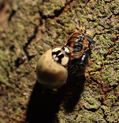 Ladybugs, June 2009