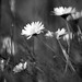 daisies by apdk