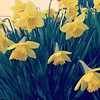 64.365 the Daffodils bloomed overnight!  #2014 #pictureaday #pictureaday2014 #flowers