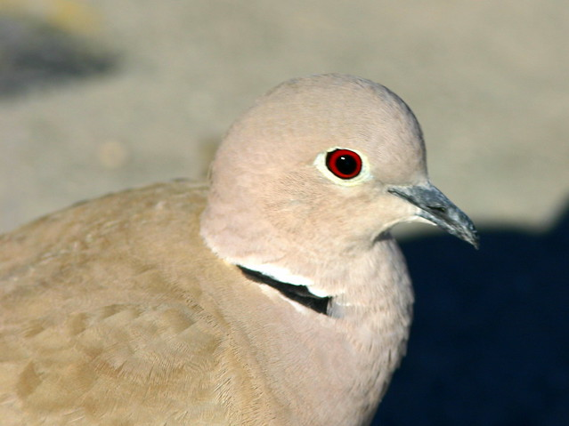 Eurasian Collared-Dove 20090109