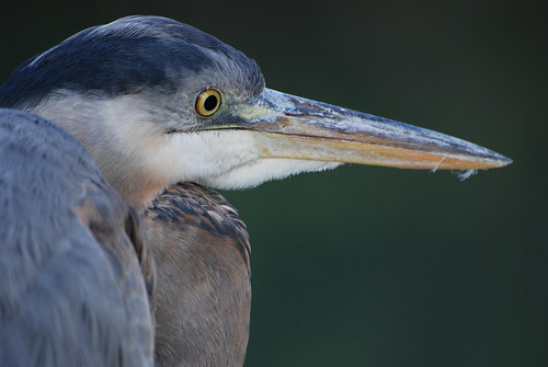 Profile of a Great Blue