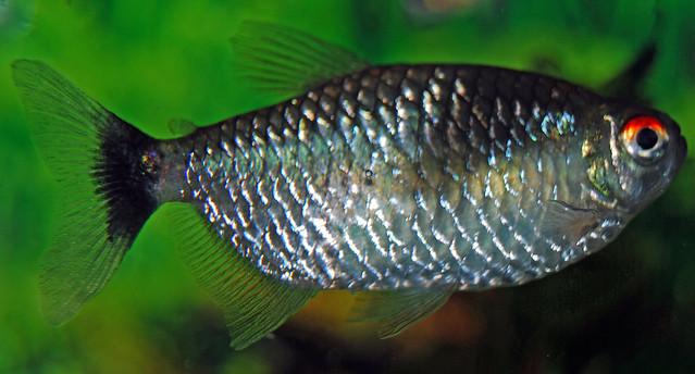 red eye tetra Flickr - Photo Sharing!
