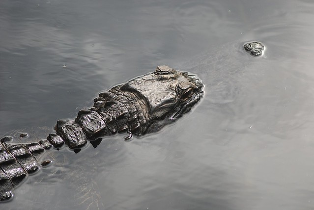 Header of Alligator Mississipiensis