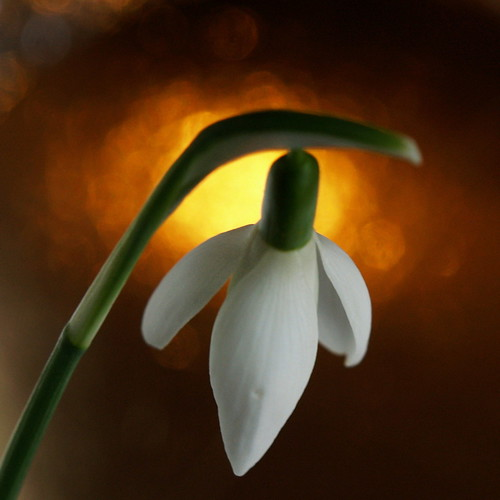snowdrop on gold