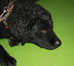 newfoundland(0.0), dog breed(1.0), animal(1.0), dog(1.0), curly coated retriever(1.0), pet(1.0), poodle(1.0), mudi(1.0), carnivoran(1.0),