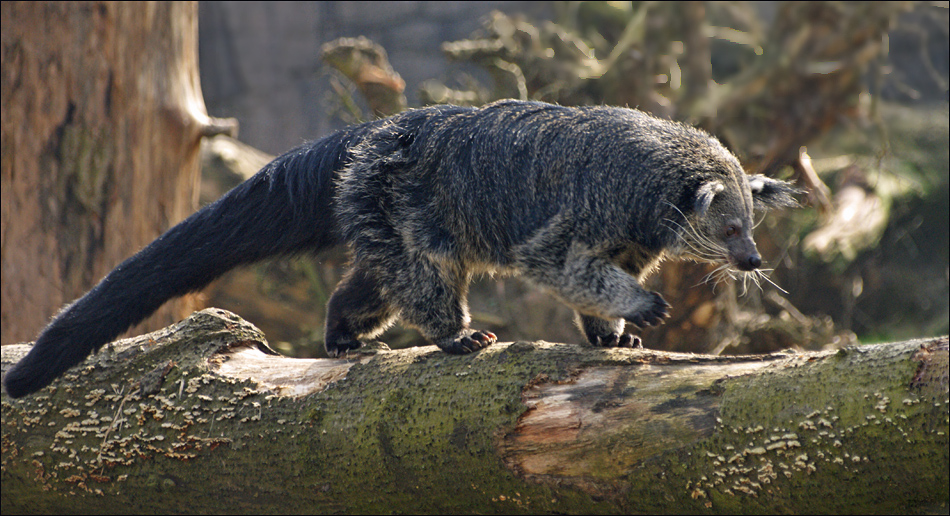Binturong or Bearcat | Flickr - Photo Sharing!