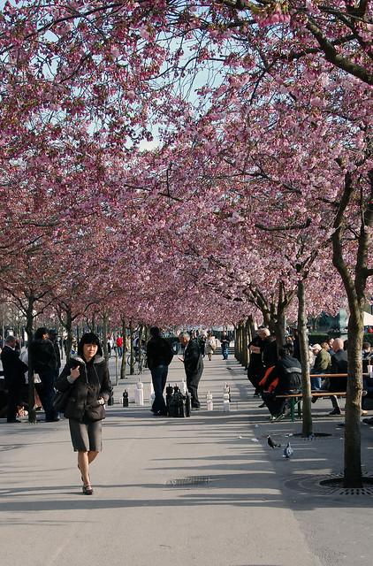 Sakura day in kungsan the japanese cherry trees blossomed flickr photo sharing - Romanian cherry tree varieties ...
