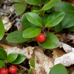 Wintergreen or Checkerberry (Gaultheria procumbens)