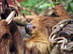 animal(1.0), three toed sloth(1.0), mammal(1.0), fauna(1.0), wildlife(1.0),