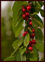 Different Kinds of Cherries