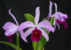 Cattleya gaskelliana 'June Surprise' X Laelia purpurata var. flamea 'King'