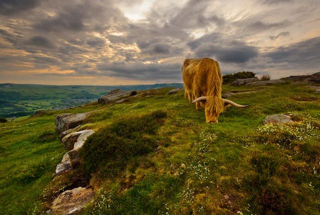 Curbar Cow
