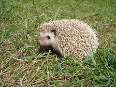 animal, porcupine, domesticated hedgehog, erinaceidae, fauna, wildlife,