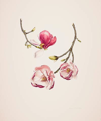 "Dianne McElwain, Magnolia × soulangiana 'Lennei', 2008  Watercolor on Fabriano Artistico Bright White, 22"" × 20"". © Copyright Brooklyn Botanic Garden"