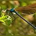 Beautiful Demoiselle (immature male) by anthonynixon17