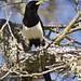 Yellowbilled Magpie vertical