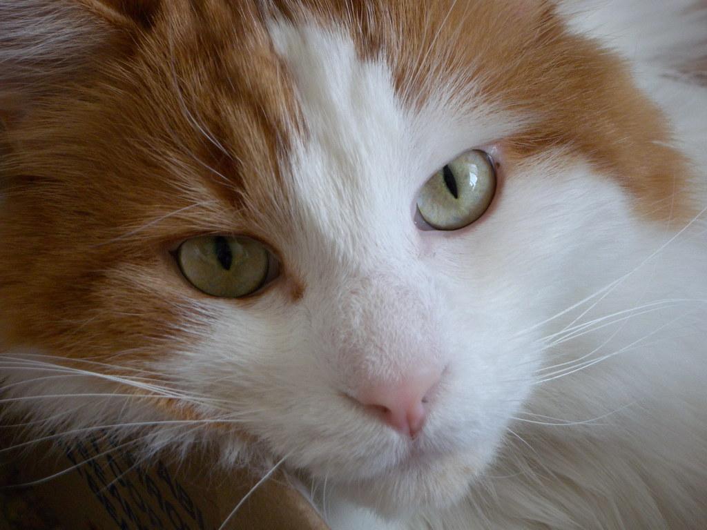 турецкая кошка ван фото