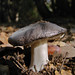 Entoloma - Photo (c) randomtruth, some rights reserved (CC BY-NC-SA)