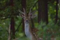 Fallow Deer at Dyrham