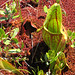 purple pitcher plant - Photo (c) sandy richard, some rights reserved (CC BY-NC)