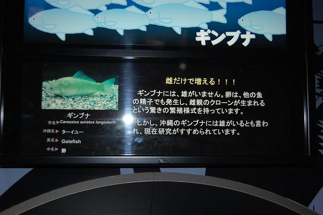 ギンブナの説明@ちゅら海水族館