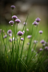 chives by Rosh Sillars