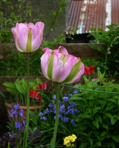Tulips and corrugated iron