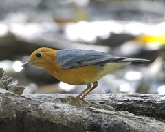 Anis merah, Orange-headed Thrush Zoothera citrina