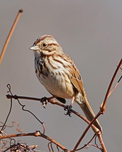 bird birds sparrow birdwatching avian birdwatcher songsparrow melospizamelodia riverwalktrail canonef40056l danriver danvilleva saturdaymorningbirdclub
