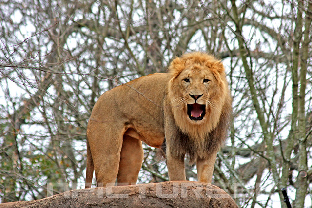 Image Result For The Lion The