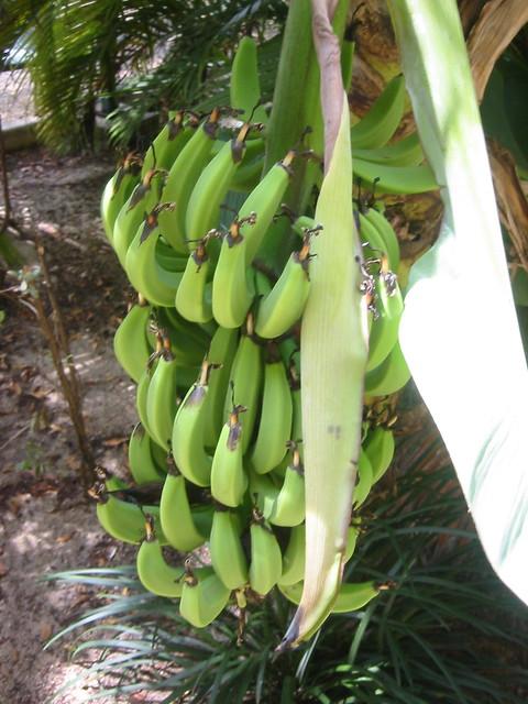 Bananas Grow Upside Down Flickr Photo Sharing