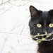 Black bush cat