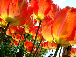 Tulips from Mainau Island...