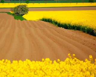 Yellow and brown fields with tree