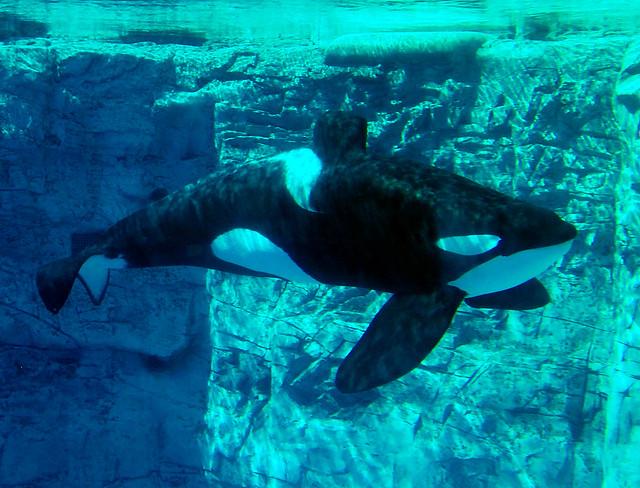 Tilikum Seaworld Orlando