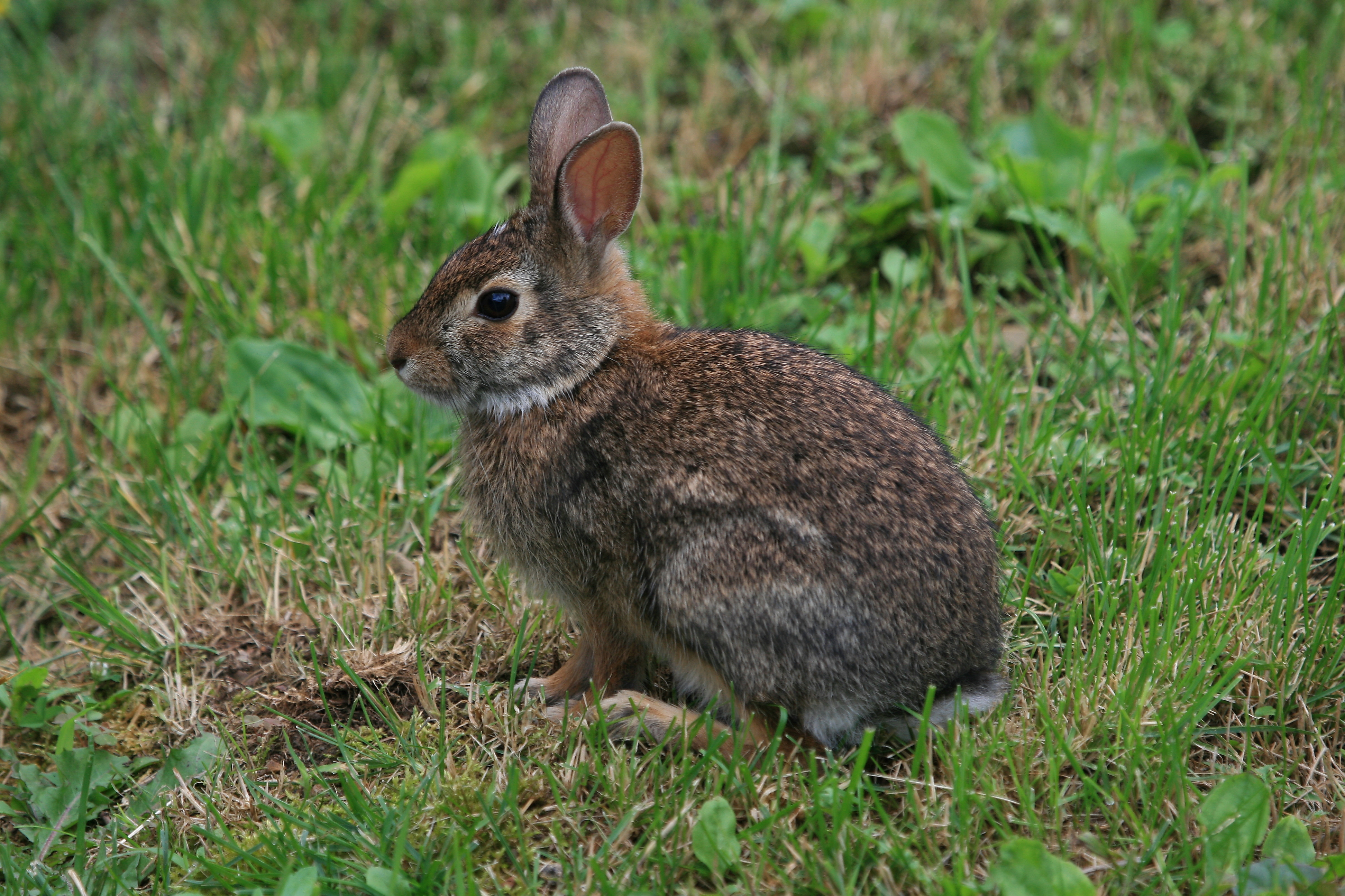 Baby cottontail rabbit - photo#4