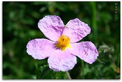 Ütü İsteyen Çiçek...