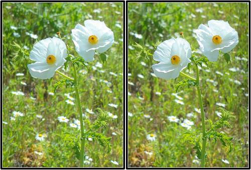 3d crosseye texas argemone bluestempricklypoppy argemonealbiflora austinco