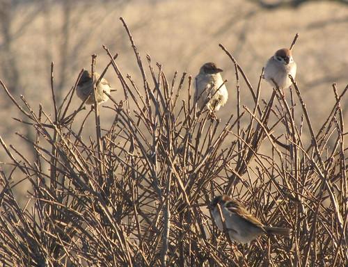 winter birds backyard sparrow foursome