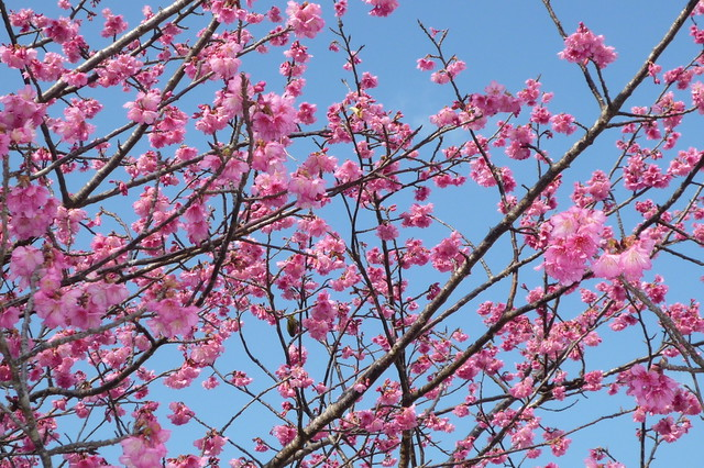 CHERRY BLOSSOMS BLOOMING IN JANUARY on OKINAWA