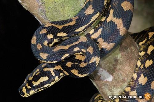 Jungle carpet python (Morelia spilota cheynei)  Flickr