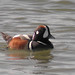 Harlequin Duck - Photo (c) Len Blumin, some rights reserved (CC BY-NC-ND)
