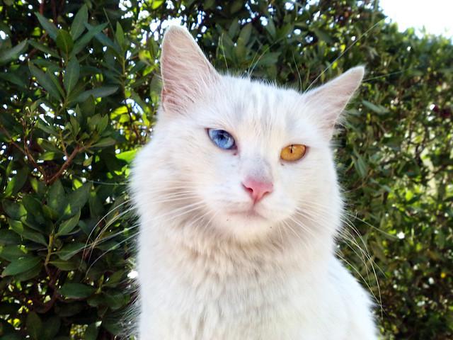 Turkish Van Cat | Flic...